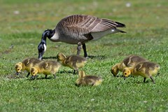 Canada Goose & Goslings (kevinwg) Tags: grass eating canada goose gosling