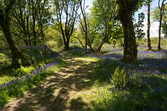 Path through the bluebells - NK2_7457 (Jean Fry) Tags: bluebellwoods bluebells burrator dartmoor dartmoornationalpark devon englanduk trees westcountry woodland woodlandtracks