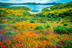 Epic High Res Multishot Panormama Stitched in Lightroom! Sony A7R III & FE 16–35 mm G Master Wide-Angle Zoom Lens! Diamond Valley Lake Wildflower Trail Wild Flower Super Bloom! California Wildflowers Superbloom Fine Art Photography! Elliot McGucken Art (45SURF Hero's Odyssey Mythology Landscapes & Godde) Tags: epic high res multishot panormama stitched lightroom sony a7r iii fe 16–35 mm g master wideangle zoom lens diamond valley lake wildflower trail wild flower super bloom california wildflowers superbloom fine art photography elliot mcgucken landscape nature 4k 8k