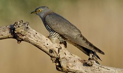 Common Cuckoo (f) (wildlifelynn) Tags: commoncuckoo cuculuscanorus adult bird migrant summervisitor wintersinafrica widespread localised populationdecline neverabundant scentralenglandmostly coastland inland rural opencountryside farmland woodlandedges copses scrubland moorland marshes reedbeds female similartomale longslenderbody bluegreyupperparts longpointedwings wingsloweredwhenperched barsacrossbelly darkgreywhitebars yellowlegsfeet shortlegs longdarkgreytail whitespotsontail whitetailmargin slategreyhead greythroat buffbrownwashonbreast buffbrownnecksides yelloweyes yelloweyerings greyishblackbeak lowermandibleyellowish slightlycurvedbeak predatory insects hairycaterpillars bubblingcall latespring phragmitesreedbed deadtreebranch perched sideview alert watchful lookingforfood closeencounter bokeh