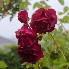 under the rain (Riex) Tags: red rouge rose flower fleur petals petales nature fujifilm xh1 adapter metabones speedbooster alpa xmount fujix kernmacroswitar50mmf18lens xtrans
