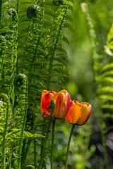 Tulips (sklachkov) Tags: flower flowers tulip tulips nature ottawa garden gardens festival