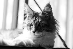 Maine coon B&W (GemMoth) Tags: kami cat chat chatton kitten bw