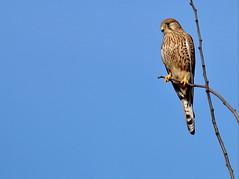 Gheppio (falco tinnunculus) (Paolo Bertini) Tags: verona birdwatching birding uccelli boscomantico gheppio kestrel falco tinnunculus bird nature raptor rapaci