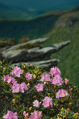 Carolina Rhododendrons on Hawksbill Mountain (Reid Northrup) Tags: rrs nature carolinarhododendrons clouds flower forest hawksbillmountain landscape linvillegorge nikon northcarolina reidnorthrup rhododendrons rocks rugged trees