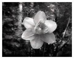 Daffodil (kinglear55) Tags: flower daffodil film ishootfilm filmisnotdead fujisuperia400 adobe elements danscamera blackandwhite monochrome art photograph