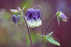 "pastel Aquilegia (Columbine) flowers after the evening rain. A Potterton garden, Aberdeenshire, Scotland. (grumpybaldprof) Tags: canon 80d ""canon80d"" 100 100mm f28 macro ""isusm"" ""canonef100mmf28lmacroisusm"" aquilegia columbine ""granny'sbonnet"" ""cardiogenictoxins"" ""fineart"" detail light shadow ""seedpods"" seeds ""flowerheads"" brown ""goldenbrown"" eagle ""coloradobluecolumbine"" rain drops aftertherain flower sun contrast garden flowers promise colours bud stem green elegance beauty texture plant petals petal floral sheen veins intensity vibrancy shape leaf flora striking brilliance hairs ""apottertongarden"" potterton aberdeenshire scotland artistic interpretation impressionist stylistic style mood calm peaceful tranquil restful colour aberdeen uk ""siorrachdobardheathain"""
