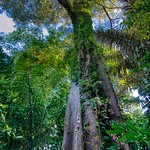 Common Pulai (Alstonia angustiloba) - a heritage tree at the Marang trail climbing Mount Faber in Singapore thumbnail