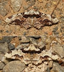 """LADIES and GENTLEMEN, BOYS and GIRLS!"" - Geometrid Moths (Biston regalis, Ennominae, Geometridae) (John Horstman (itchydogimages, SINOBUG)) Tags: insect macro china yunnan itchydogimages sinobug entomology moth lepidoptera collage mosaic ennominae geometridae crypsis camouflage boysandgirls biston regalis bistonregalis"