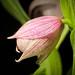 [Kawai Miyako Iwate, Japan / 岩手県宮古市川井] Cypripedium macranthos '#1905 Kawai' Sw., Kongl. Vetensk. Acad. Nya Handl. 21: 251 (1800)
