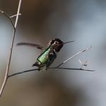 Hummingbird Wings thumbnail