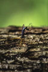 Deposit (3rd-Rate Photography) Tags: megarhyssa giantichneumonwasp wasp ovipositor insect bug nature canon 70200mm 5dmarkiii cadescove tennessee 3rdratephotography earlware