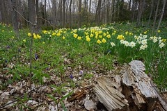 The Daffodell (Craig James White) Tags: canada ontario brucecounty saugeenshores forest spring flowers daffodils narcissus trilliums muscari