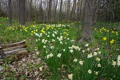 The Daffodell (Craig James White) Tags: brucecounty canada daffodils flowers forest muscari narcissus ontario saugeenshores spring trilliums