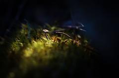 Teenie tiny toadstool! (Skye Auer) Tags: macro mushroom toadstool fungus fairy minuscule victoria australia eastgippsland forest bush miniature moss