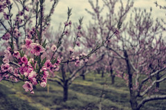 (Paul B0udreau) Tags: nikkor1855mm photoshop canada ontario paulboudreauphotography niagara d5100 nikon nikond5100 raw layer blossoms spring rural tree texture pink orchard