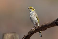 Meliphagidae - Yellow-plumed Honey-eater (julie burgher) Tags: birdsaustralia gluepotreserve southaustralia meliphagidae lichenostomusornatus yellowplumedhoneyeater