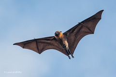 Fruit Bat-Flying Fox 501_8214.jpg (Mobile Lynn) Tags: nature landmammals fruitbat bat fauna flyingfox mammal mammals megabat pteropusseychellensis wildlife baiesainteanne seychelles coth specanimal coth5 ngc