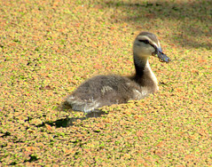 Duckling in the brown canal (Tony Worrall) Tags: duck duckling birds wild wildlife natural outdoor preston lancs lancashire city welovethenorth nw northwest north update place location uk england visit area attraction open stream tour country item greatbritain britain english british gb capture buy stock sell sale outside outdoors caught photo shoot shot picture captured ilobsterit instragram photosofpreston