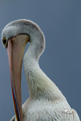 Pelican (Ross McConchie) Tags: australianpelican pelican batemansbay nsw australia