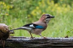 Arrendajo (_kamon_) Tags: arrendajo bird hide birdwatching jay