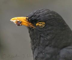 Blackbird with food 19th May 2019 (choccyfan) Tags: blackbird