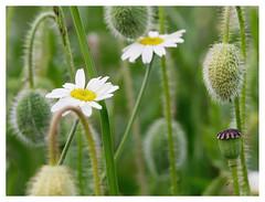 wildflowers-1150647-180519_DxO (Peadingle) Tags: apex park highbridge somerset wild flower meadow close up