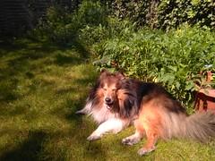 Gartensheltie (Schockwellenreiter) Tags: hunde sheltie joey bürgerstrase garten