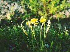 Spring Dandelion (le.nnnguyen) Tags: spring flower dandelion