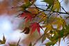 モミジ - Momiji (Hachimaki123) Tags: hanno 飯能市 日本 japan 埼玉県 saitama 能仁寺 nojinji 植物 紅葉 モミジ momiji