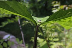 view (Phil Arachno) Tags: salticidae spider germany mainz spinne arachnida chelicerata heliconfocus canon eos600d laowa
