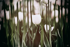 tulips (Katerina G.) Tags: tulip flowers nature botanic green color garden white canon springtime filter inspiration
