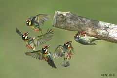 Round turn flight to hole (Ken Goh thanks for 3 Million views) Tags: coppersmith barbet clean creamy green background pose flight action sequence high fps wild avian no people nature pentax k3 sigma 500f45