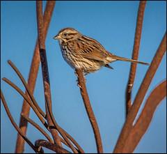 Song Sparrow On Rebar (Rodrick Dale) Tags: song sparrow on rebar tommy thompson park toronto ontario canada bird