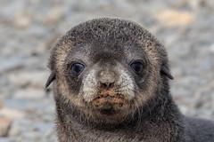 Antarctic Fur Seal Pup (Linda Martin Photography) Tags: southgeorgia southatlanticocean nature arctocephalusgazella wildlife pup antarcticfurseal stromness animal coth coth5 naturethroughthelens ngc npc alittlebeauty specanimal