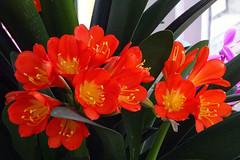 Frühling (Foto Hardy) Tags: flower flora blumen blüten natur frühling nature clivie