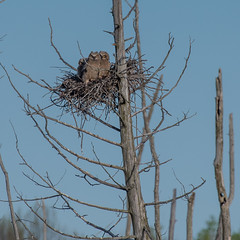 Great Horned Owls (Roger Daigle) Tags: great horned owls nikon nest