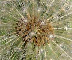 Seeds of time-0129 (carianneimages) Tags: dandelion dandelionclock clocks uk flora