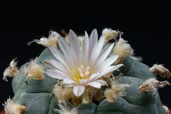 Peyote (Lophophora williamsii) (wolfgang.kynast) Tags: peyote lophophorawilliamsii focusstack dslrdashboard heliconfocus