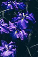 _DSC5190 (imamuan) Tags: flower iris purple japan tokyo machida yakushiike アヤメ ハナショウブ 花菖蒲 紫 花 町田 薬師池 薬師池公園 東京
