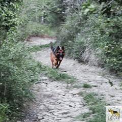 My Lupo (Allevamento Casa Caligiani) Tags: pastoretedesco germanshepherd schäferhund gsd dog cane