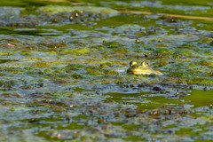 Bull Frog (jmfuscophotos) Tags: eastchester newyorkstate wildlife nature amphibian frog newyork westchestercounty ny twinlakescountypark