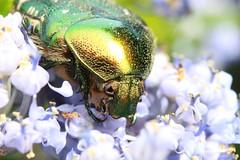 IMG_3844 (BoyWonder1708) Tags: sooc sigma 1750 macro irridescent green yellow flower beetle bug shiny junebug texture insect