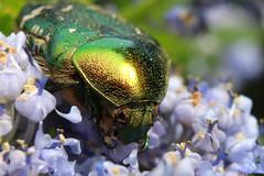 IMG_3848 (BoyWonder1708) Tags: sooc sigma 1750 macro irridescent green yellow flower beetle bug shiny junebug texture insect