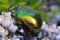 IMG_3846 (BoyWonder1708) Tags: sooc sigma 1750 macro irridescent green yellow flower beetle bug shiny junebug texture insect
