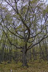 Un gran roble (lebeauserge.es) Tags: pinilladelvalle madrid sierra naturaleza campo árbol roble