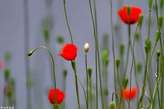 aria di pioggia... (anna barbi) Tags: fiori rossi papaveri