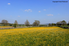 An English Meadow (Lord Skully) Tags: northyorkshire cravendistrict nationalpark naturalbeauty thedales buttercups wildflowers yellowflowers field farmland stonewalls trees bluesky blueskies cloud outdoor outdoors countryside bucolic pastoral rural england inglaterra inghilterra angleterre britishisles britain uk unitedkingdom unspoilt landscape wall frankpickavant scenery springtime spring may 2017 geotagged canon picturesque daytime sunny scenic