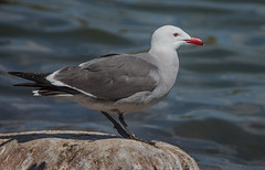 Heermann's Gull (Larus heermanni) (fugle) Tags: bird heermannsgull nevada seagull gull