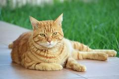 Seis meses sin Zarpazos (En memoria de Zarpazos, mi valiente y mimoso tigre) Tags: zarpazos gattuso gatopelirrojo dep cat gattoarancione ginger orangetabby gatofeliz gatolibre gattorosso gatoatigradonaranja